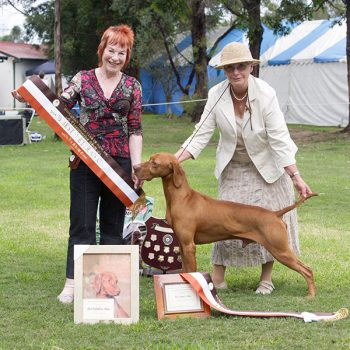 Photo of Fay handling Hanabrit Ponting the Way to one of his many Best in Show Awards.  The HVCNSW Championship Show in 2009, the judge was Donna Holman from the UK.