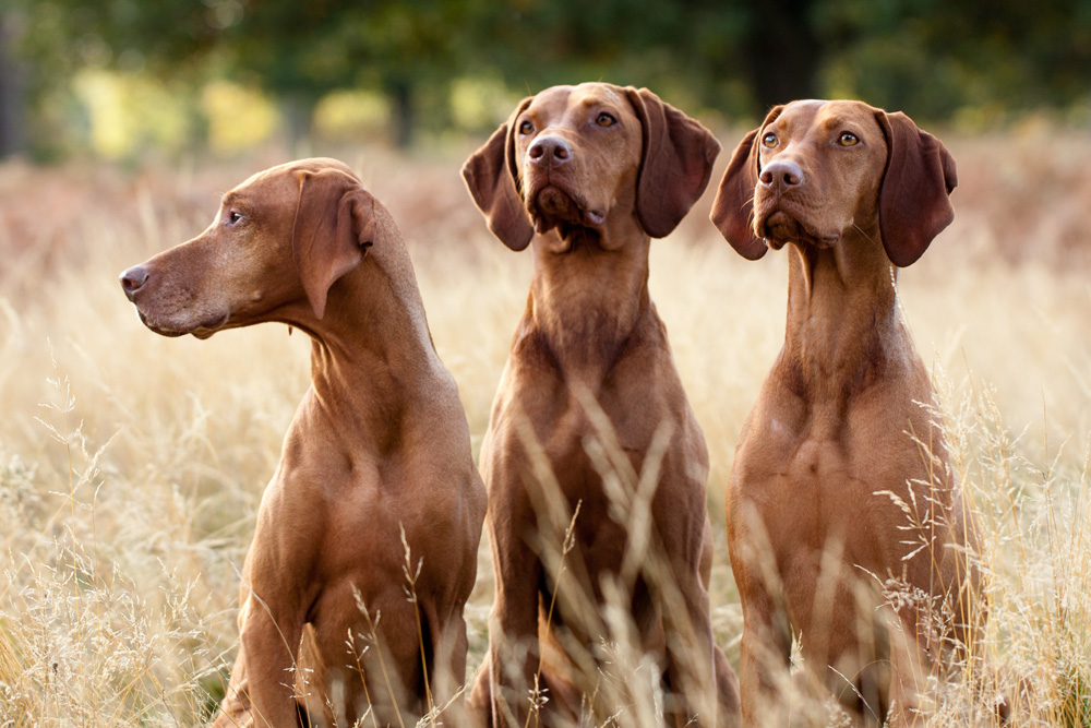vizsla-image-group